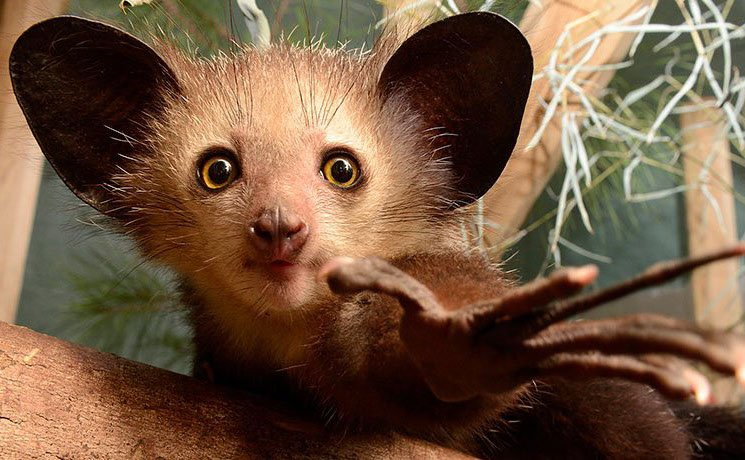 Aye-aye | 10 Times Nature Went Over The Top To Impress Us, And It Worked! | Zestradar
