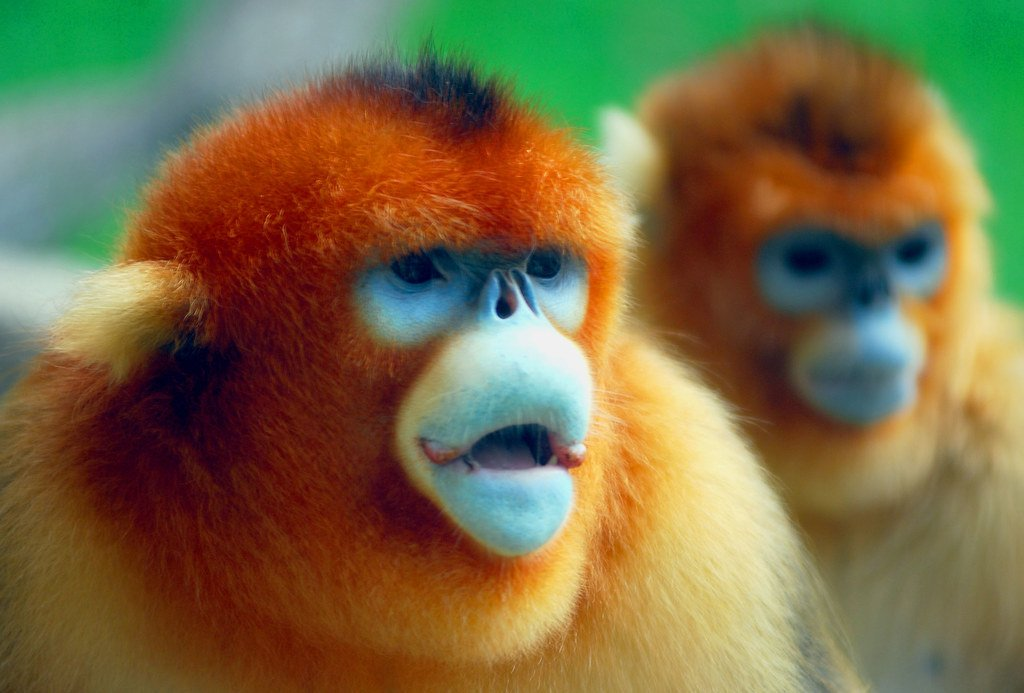 Golden snub-nosed monkeys | 10 Times Nature Went Over The Top To Impress Us, And It Worked! | Zestradar