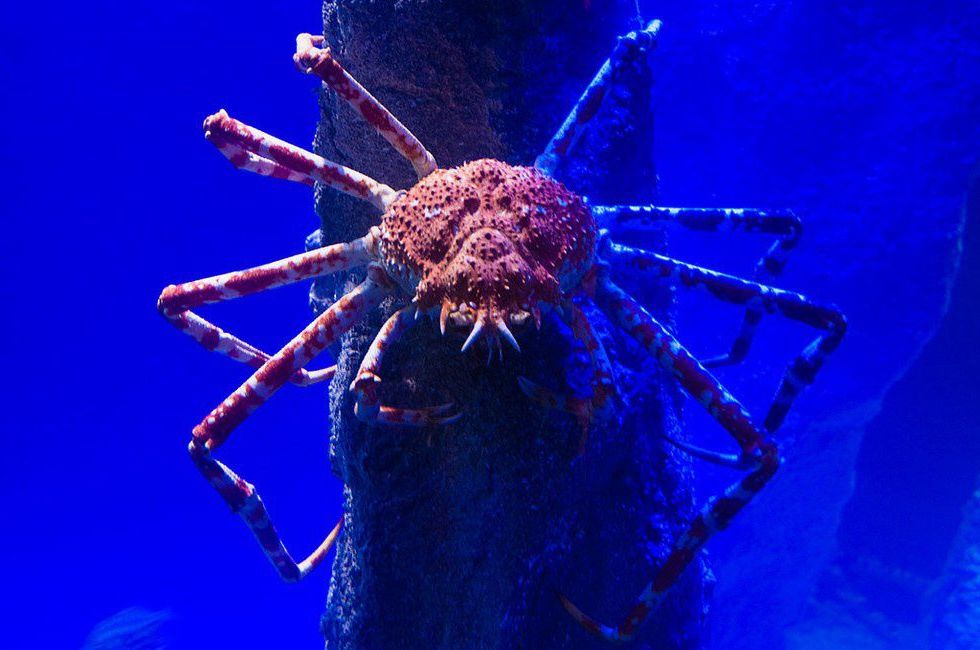 Japanese spider crab  | 10 Times Nature Went Over The Top To Impress Us, And It Worked! | Zestradar