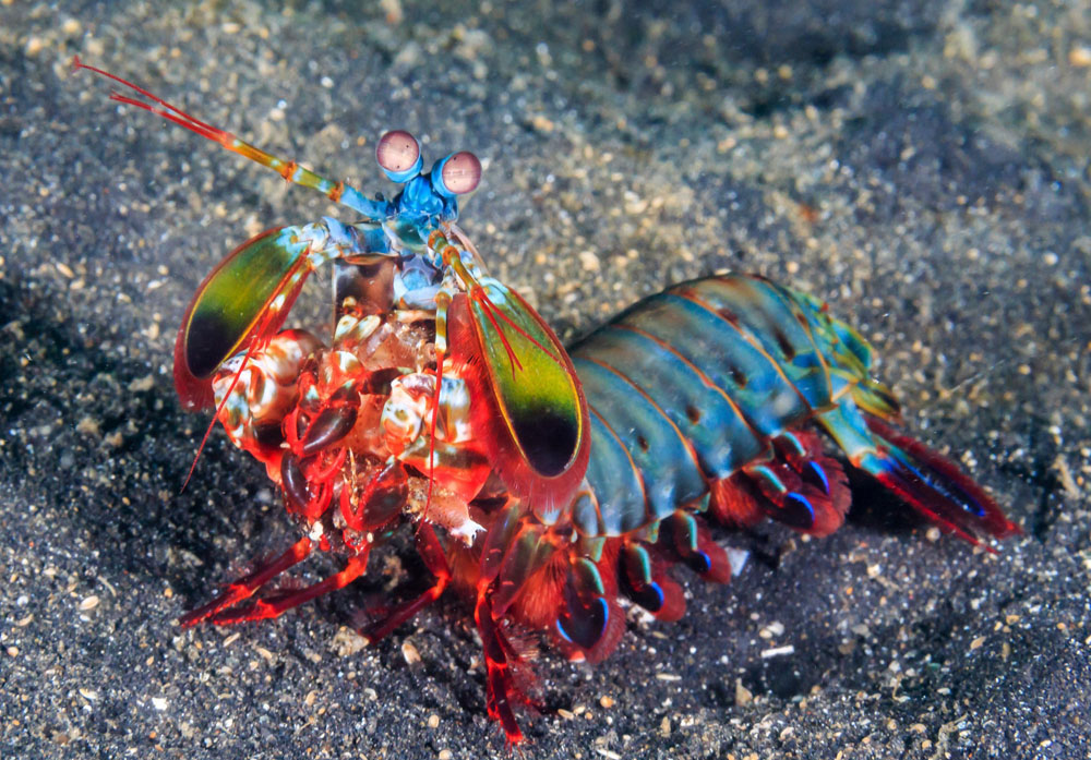 Mantis shrimp | 10 Times Nature Went Over The Top To Impress Us, And It Worked! | Zestradar