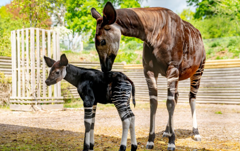 Okapi  | 10 Times Nature Went Over The Top To Impress Us, And It Worked! | Zestradar