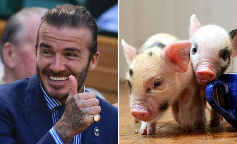 David Beckham – Micro Pigs | Kristen Stewart – Wolf | 10 Celebrities With Truly Weird Pets | Zestradar