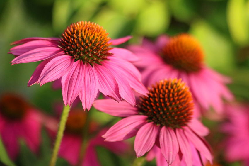 Watering | How to Grow Echinacea at Home | Zestradar