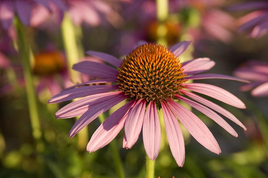 How to Grow Echinacea at Home | Zestradar