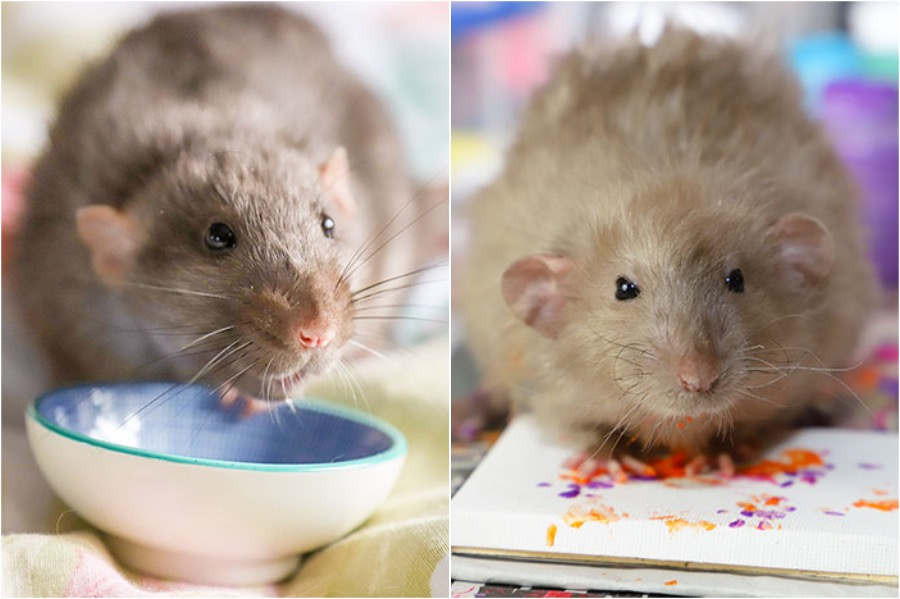 #3 | Tiny Paintings Done By Rats Will Brighten Your Day | Zestradar