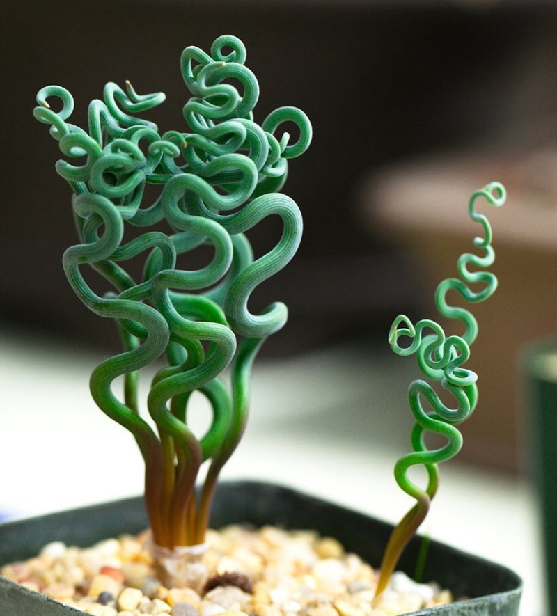 Trachyandra | 15 Beautiful Succulents That Look Like Something from Another Planet | Zestradar