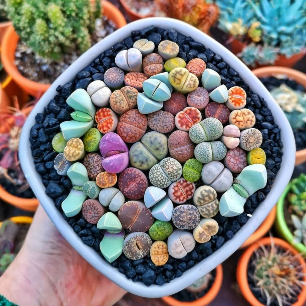 Lithops | 15 Beautiful Succulents That Look Like Something from Another Planet | Zestradar