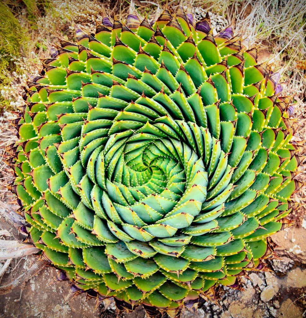 Aloe Polyphylla | 15 Beautiful Succulents That Look Like Something from Another Planet | Zestradar