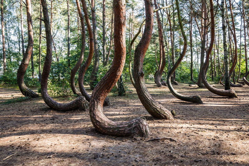 Bent Forest | 10 of the Most Surreal Natural Phenomena on Earth | Zestradar