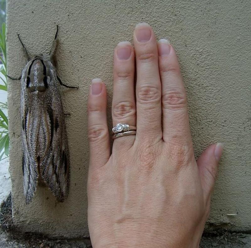 Bogong Moth | 15 Weird-Looking Animals That Belong in a Sci-Fi Movie | Zestradar