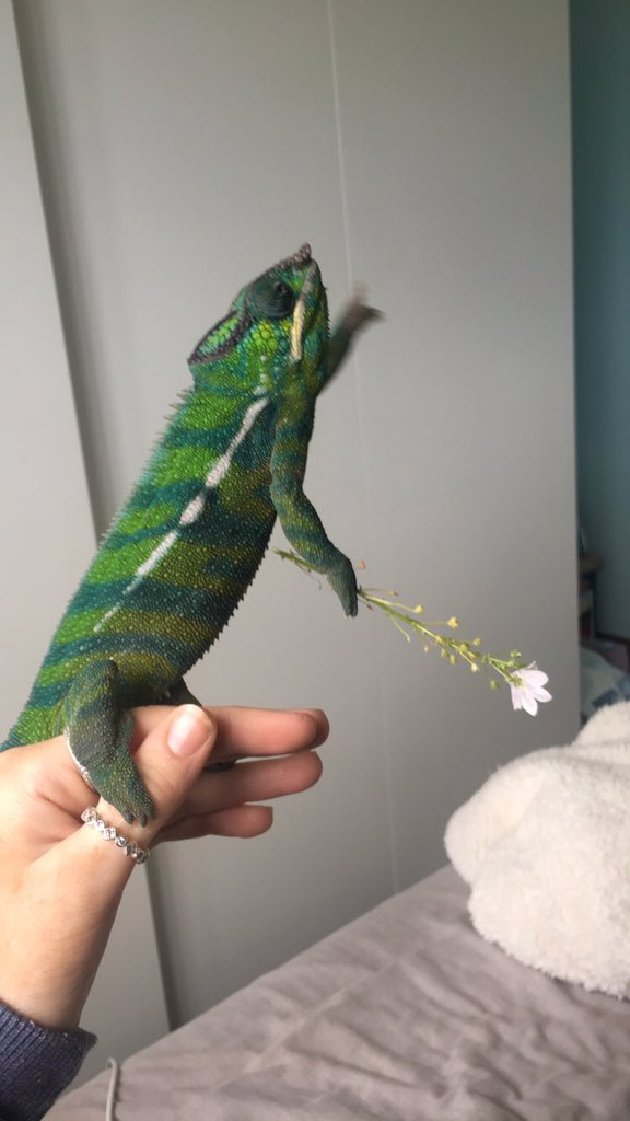 Chameleons Holding Tiny Weapons Is The Best Thing To Come Out Of 2020 #8 | Brain Berries