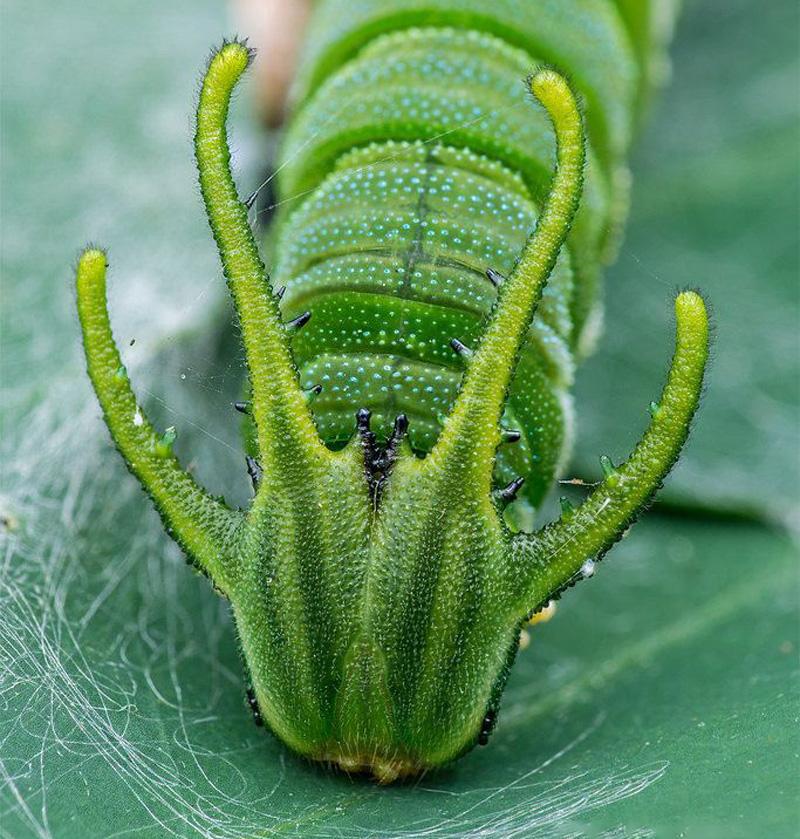 Dragonhead Caterpillar | 15 Weird-Looking Animals That Belong in a Sci-Fi Movie | Zestradar