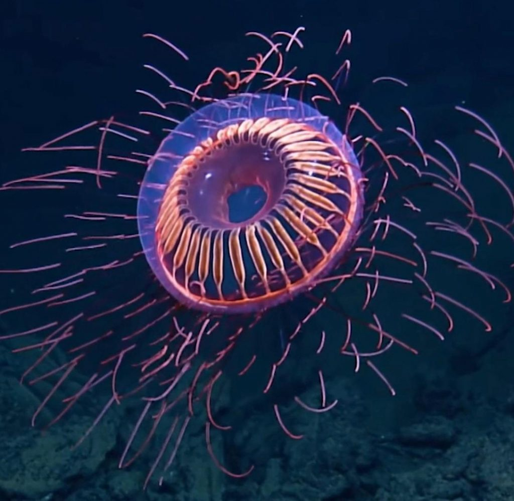 Halitrephes Jellyfish | 15 Weird-Looking Animals That Belong in a Sci-Fi Movie | Zestradar