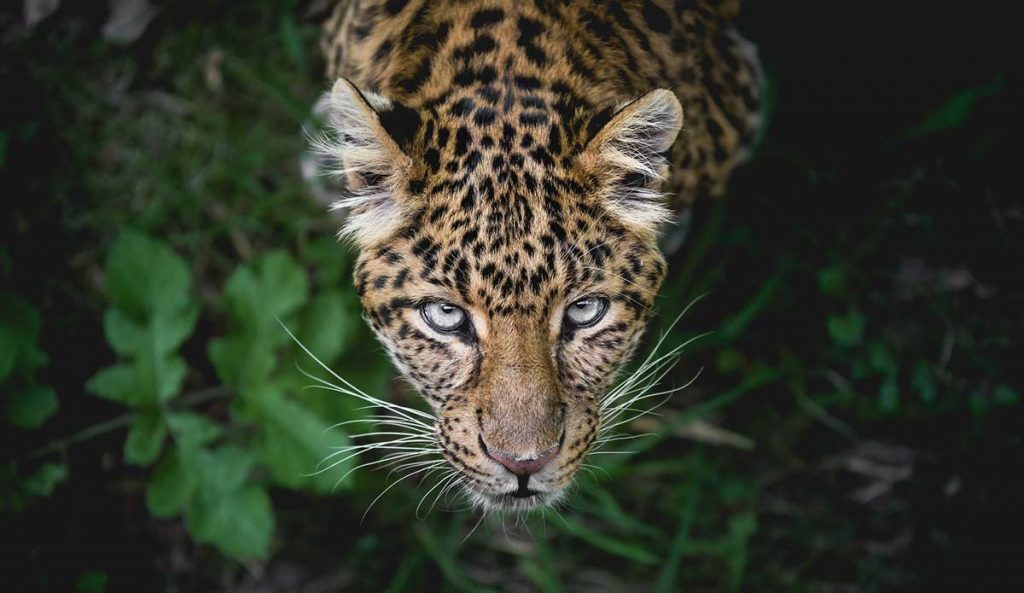 Jaguar (Mexico) | 7 Sacred Animals from Around the World | Zestradar