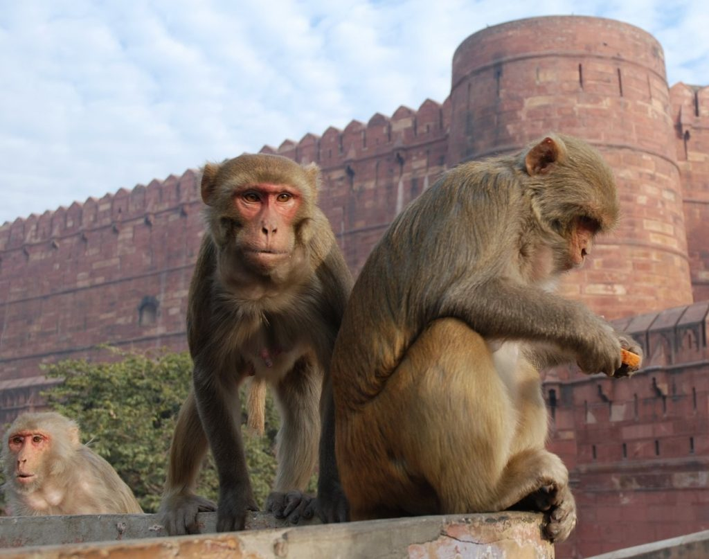 Monkey (India) | 7 Sacred Animals from Around the World | Zestradar