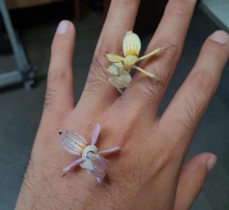 Orchid Mantis | 15 Weird-Looking Animals That Belong in a Sci-Fi Movie | Zestradar