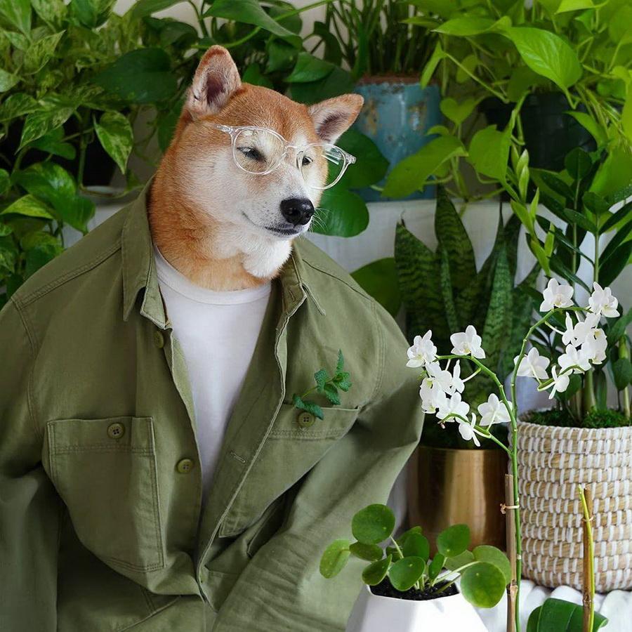 #1   Сиба-ину Бодхи: cамый стильный пес в мире   Zestradar