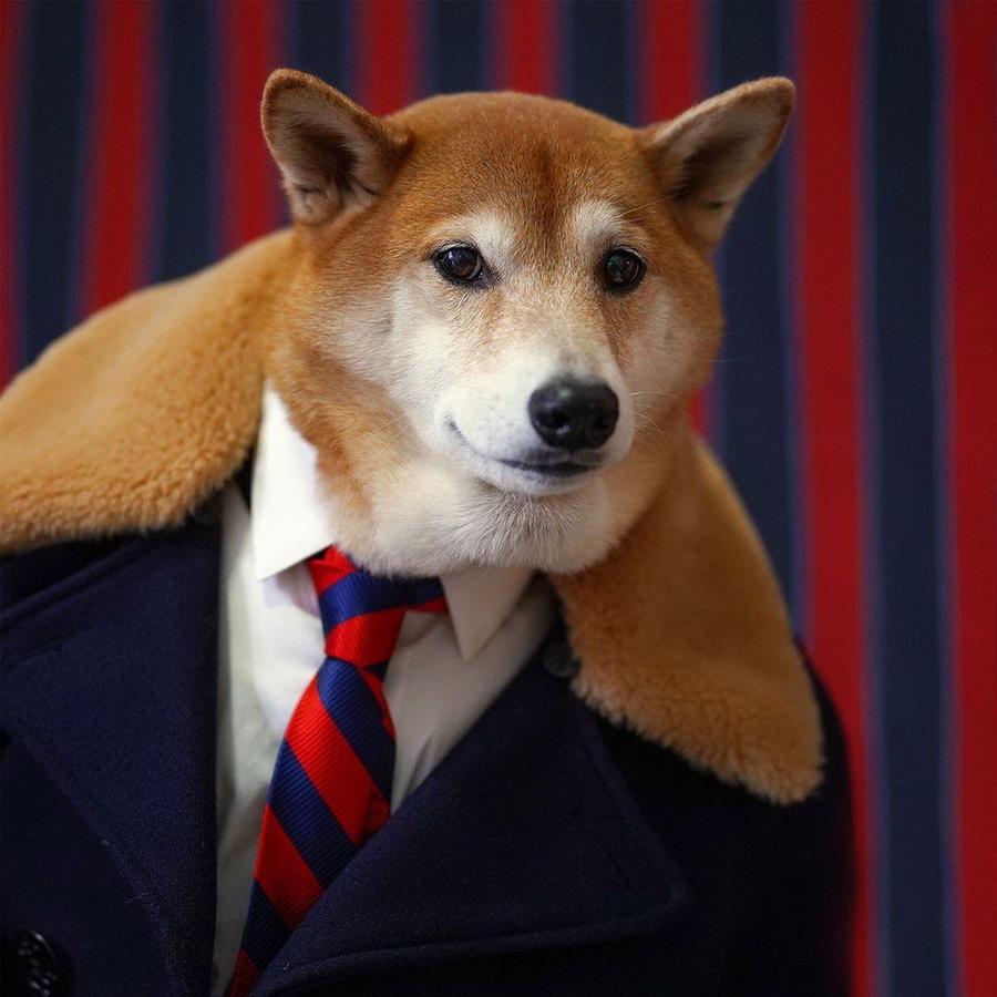 #6   Сиба-ину Бодхи: cамый стильный пес в мире   Zestradar