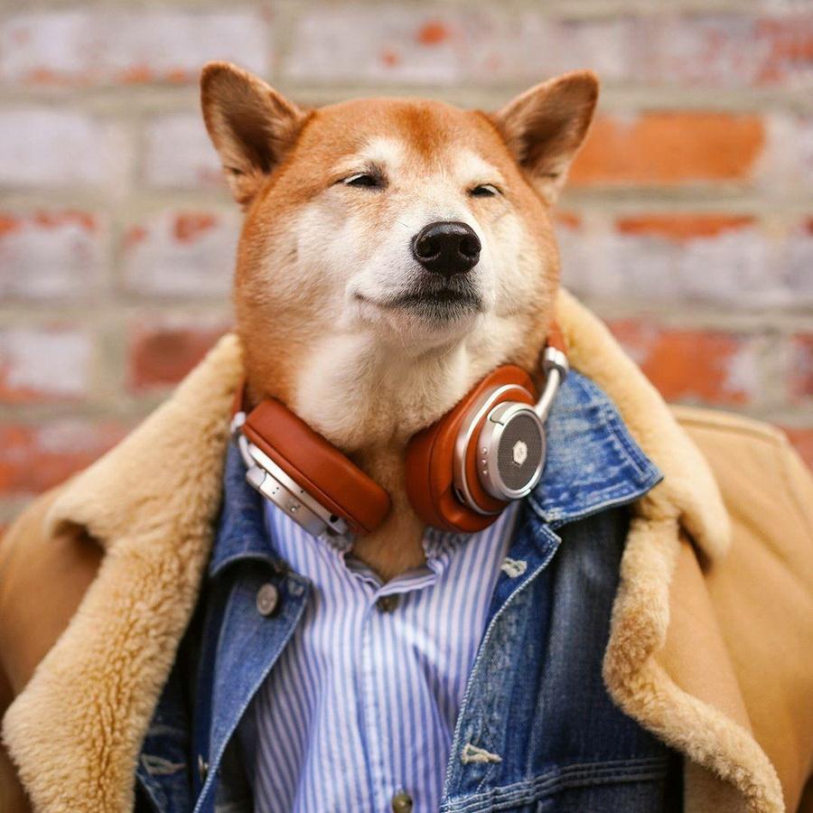 #9   Сиба-ину Бодхи: cамый стильный пес в мире   Zestradar