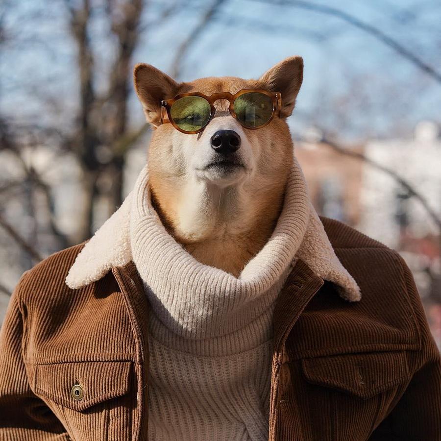#10   Сиба-ину Бодхи: cамый стильный пес в мире   Zestradar