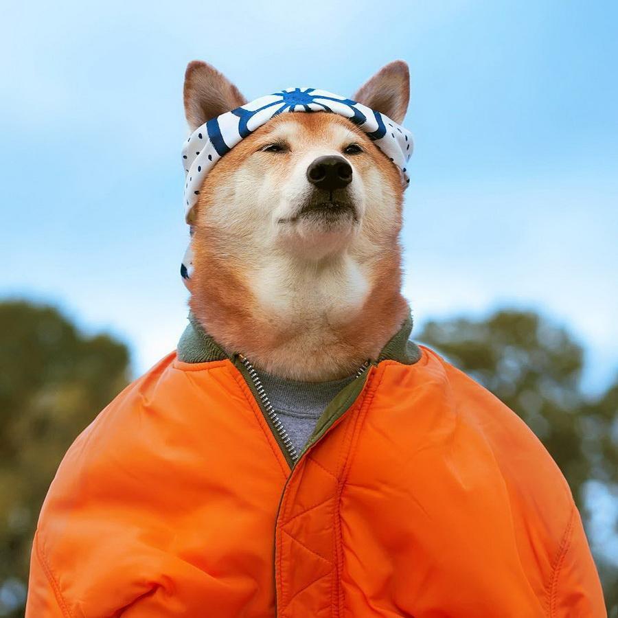 #11   Сиба-ину Бодхи: cамый стильный пес в мире   Zestradar