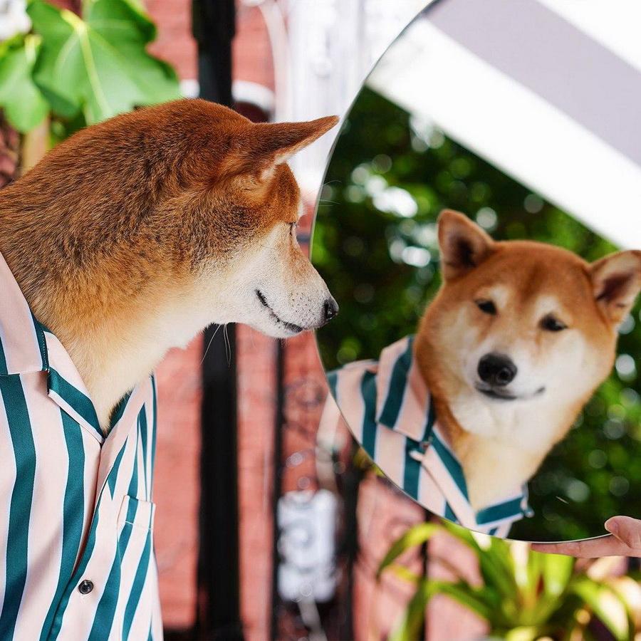 #12   Сиба-ину Бодхи: cамый стильный пес в мире   Zestradar