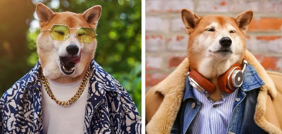Сиба-ину Бодхи: cамый стильный пес в мире | Zestradar