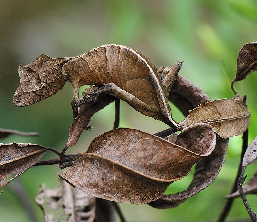 Satanic Leaf-Tailed Gecko | 15 Weird-Looking Animals That Belong in a Sci-Fi Movie | Zestradar