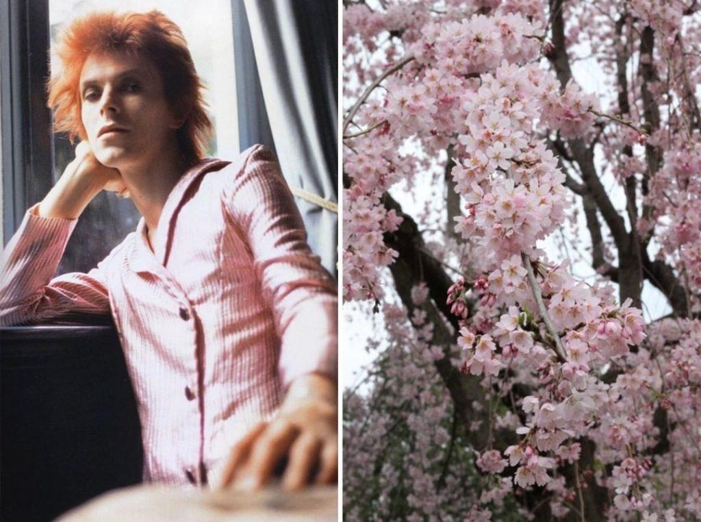 Сакура. | Дэвид Боуи и цветы: 15 волшебных портретов музыканта | Zestradar