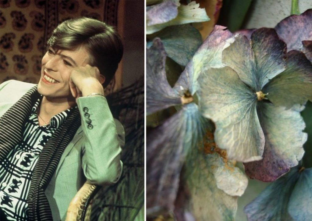 Гортензия.. | Дэвид Боуи и цветы: 15 волшебных портретов музыканта | Zestradar