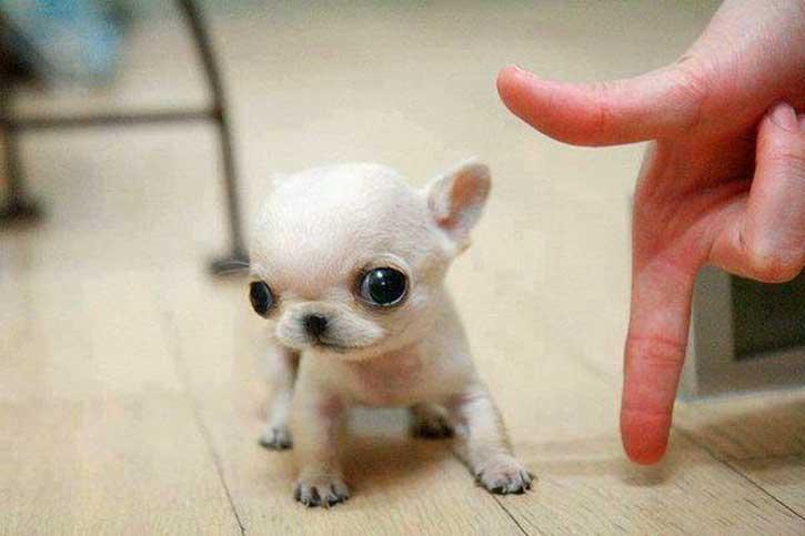 Чихуахуа   10 самых маленьких в мире животных, которые у любого вызовут улыбку и умиление   Zestradar