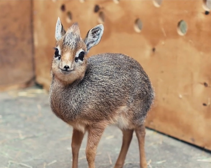 Карликовая антилопа   10 самых маленьких в мире животных, которые у любого вызовут улыбку и умиление   Zestradar