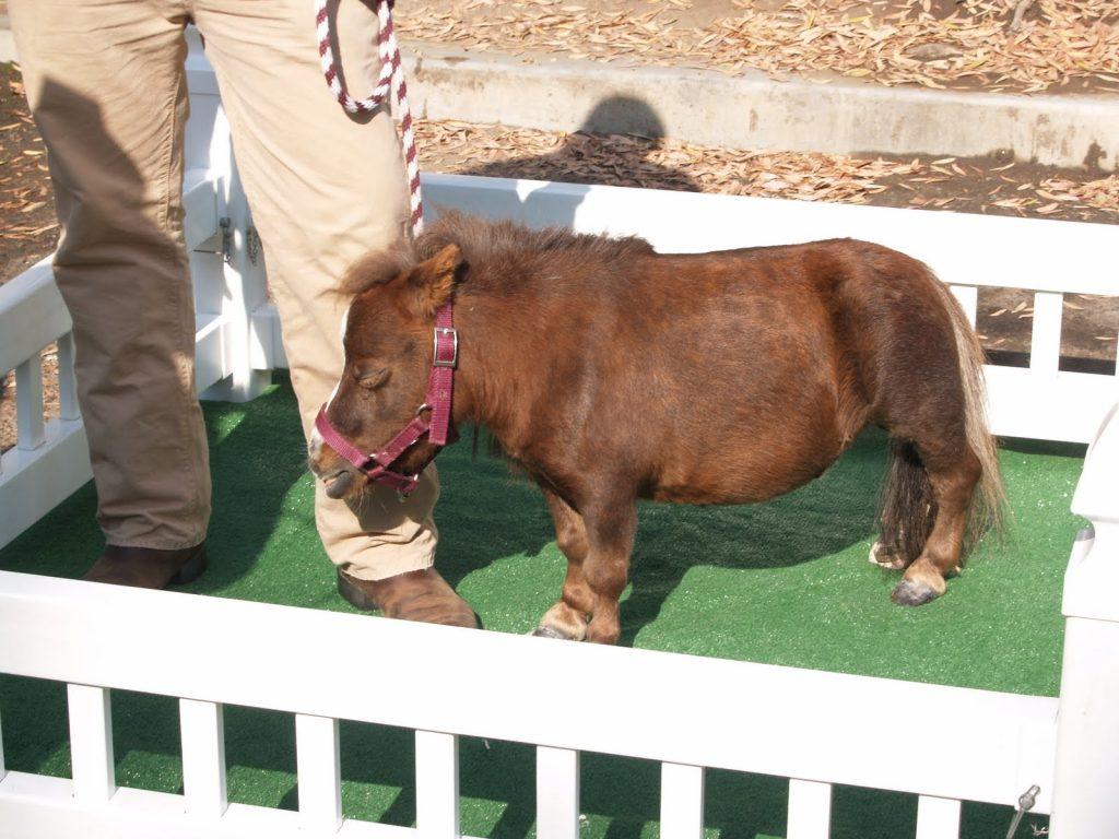 Миниатюрная лошадь   10 самых маленьких в мире животных, которые у любого вызовут улыбку и умиление   Zestradar
