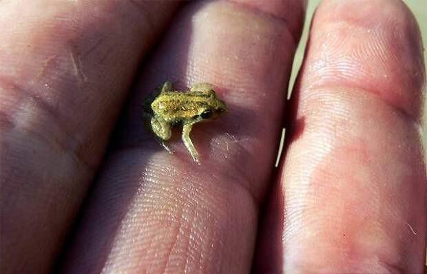 Лягушка Paedophryne   10 самых маленьких в мире животных, которые у любого вызовут улыбку и умиление   Zestradar