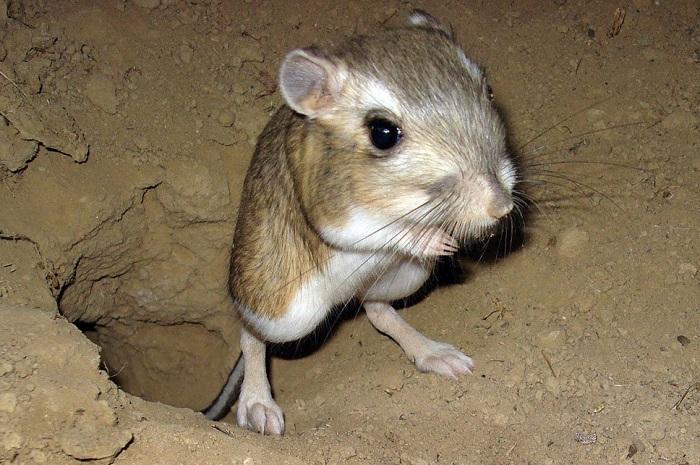 Карликовый трехпалый тушканчик | 10 самых маленьких в мире животных, которые у любого вызовут улыбку и умиление | Zestradar