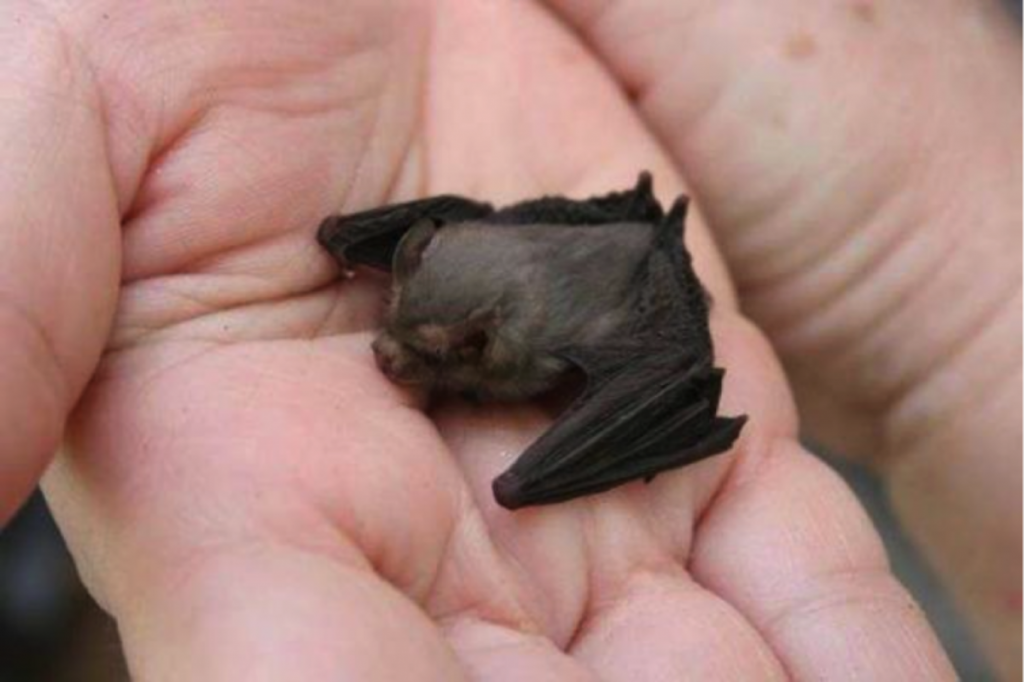 Свиноносая летучая мышь   10 самых маленьких в мире животных, которые у любого вызовут улыбку и умиление   Zestradar