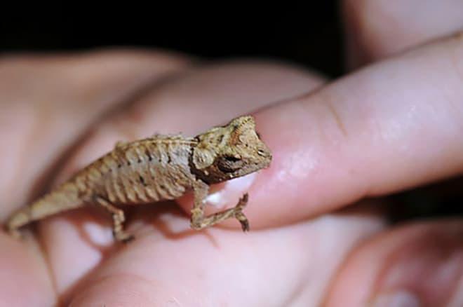 Хамелеон малая брукезия   10 самых маленьких в мире животных, которые у любого вызовут улыбку и умиление   Zestradar
