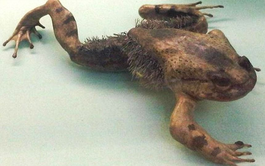 Hairy frog | 10 Animals With Abilities That Put Your Superpowers to Shame | Zestradar