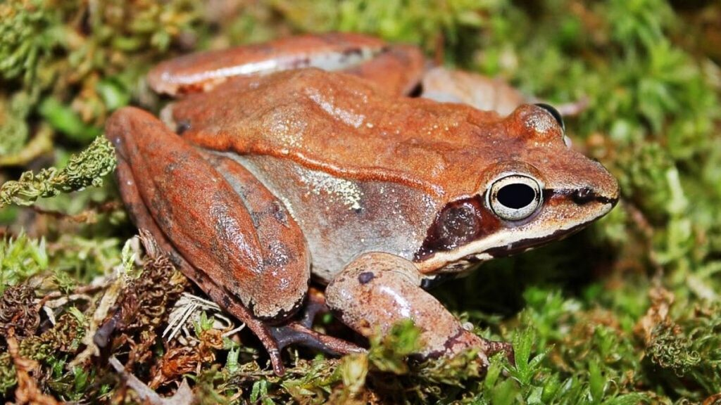 Wood frog | 10 Animals With Abilities That Put Your Superpowers to Shame | Zestradar