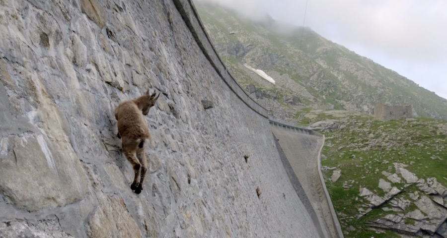 Mountain goats    10 Animals With Abilities That Put Your Superpowers to Shame   Zestradar