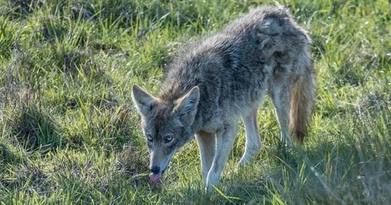 A Blue-Eyed Coyote | 7 Rare Quirks Found in Nature | Zestradar