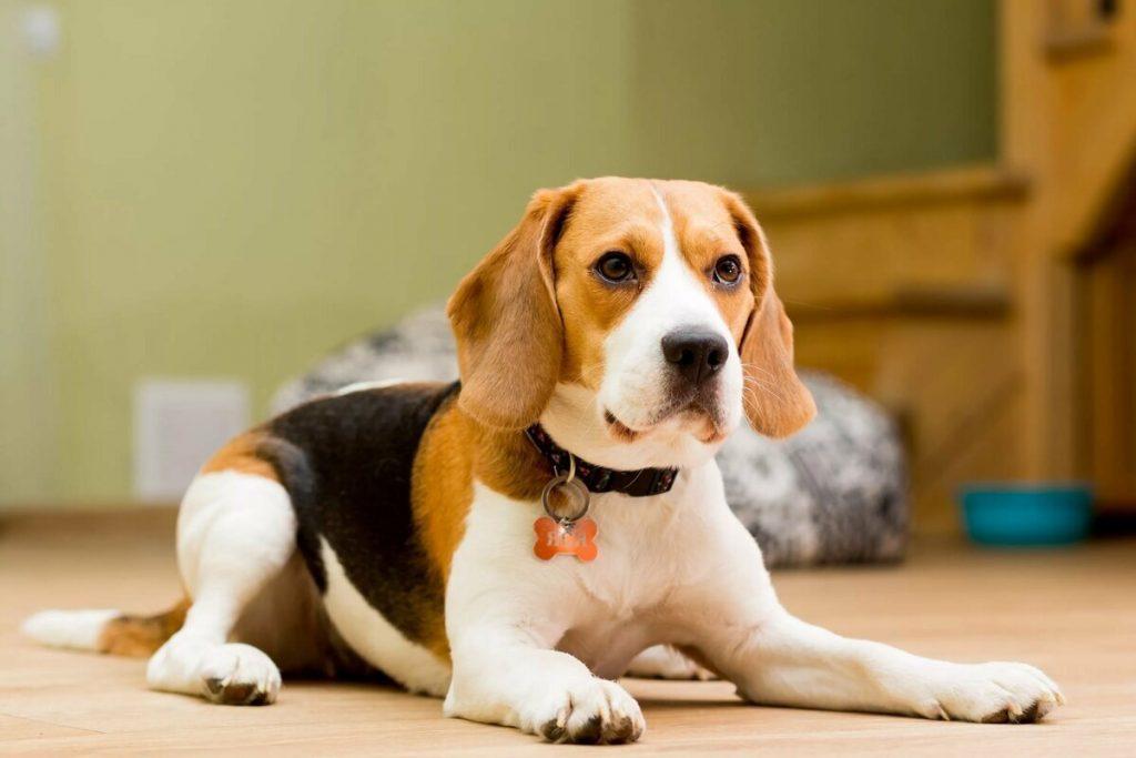 Бигль | 10 самых добрых пород собак, которые хорошо ладят с детьми | Zestradar