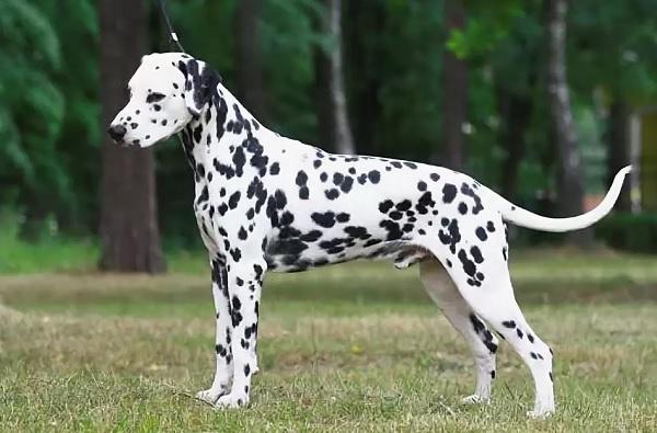Далматинец | 10 самых добрых пород собак, которые хорошо ладят с детьми | Zestradar