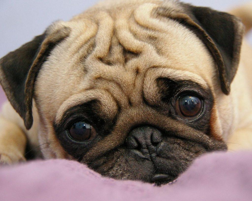Мопс | 10 самых добрых пород собак, которые хорошо ладят с детьми | Zestradar