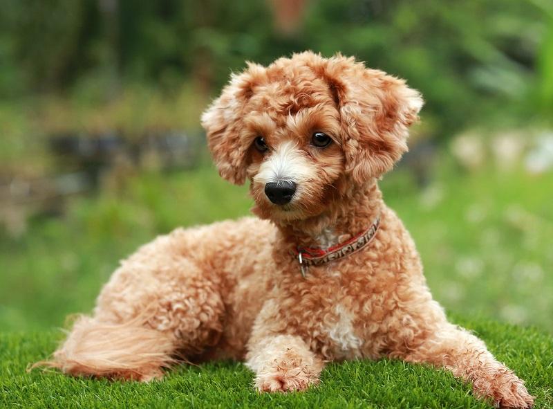 Пудель | 10 самых добрых пород собак, которые хорошо ладят с детьми | Zestradar