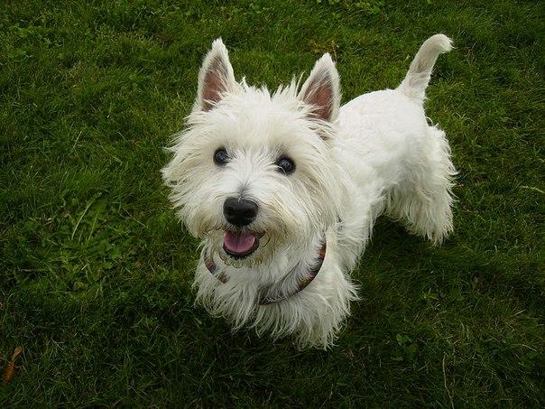 Вест-хайленд-уайт-терьер | 10 самых добрых пород собак, которые хорошо ладят с детьми | Zestradar