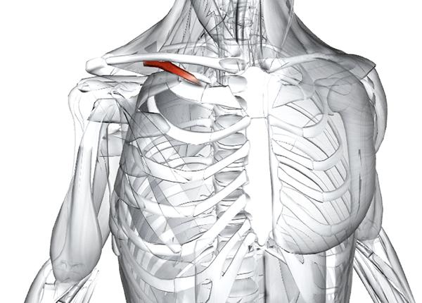 10. Подключичная мышца | 10 частей человеческого тела, которые могут бесследно исчезнуть | Zestradar