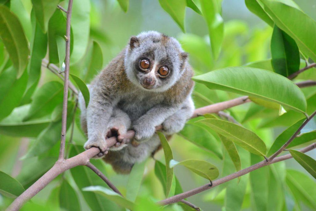 Slow Loris | 8 Adorable Animals That Are Surprisingly Dangerous | Zestradar