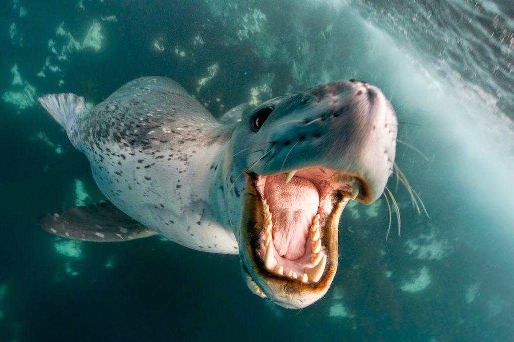 Leopard Seal | 8 Adorable Animals That Are Surprisingly Dangerous | Zestradar