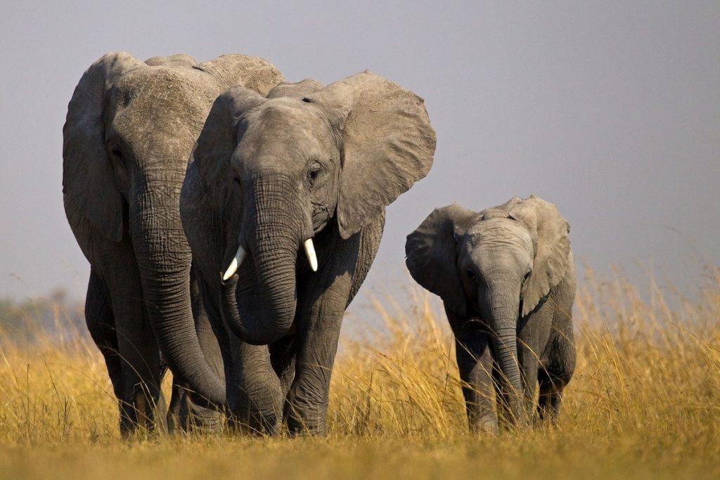 Elephant | 8 Adorable Animals That Are Surprisingly Dangerous | Zestradar